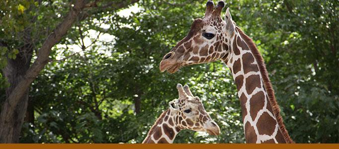 Adventure Africa banner - giraffes