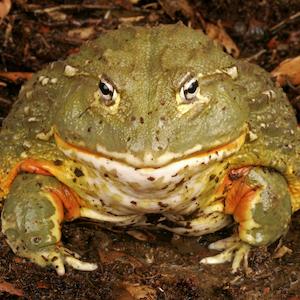 African Bullfrog Headshot