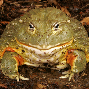 African Bullfrog Headshot Animal Yearbook