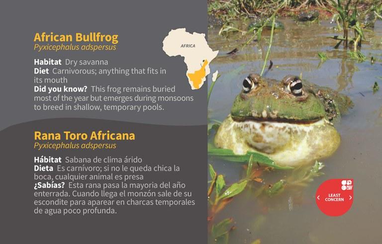 African Bullfrog ID 2020