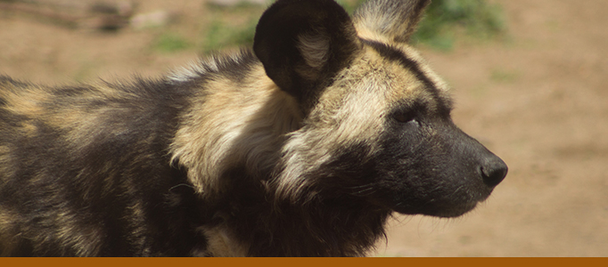 African painted dog exhibit page