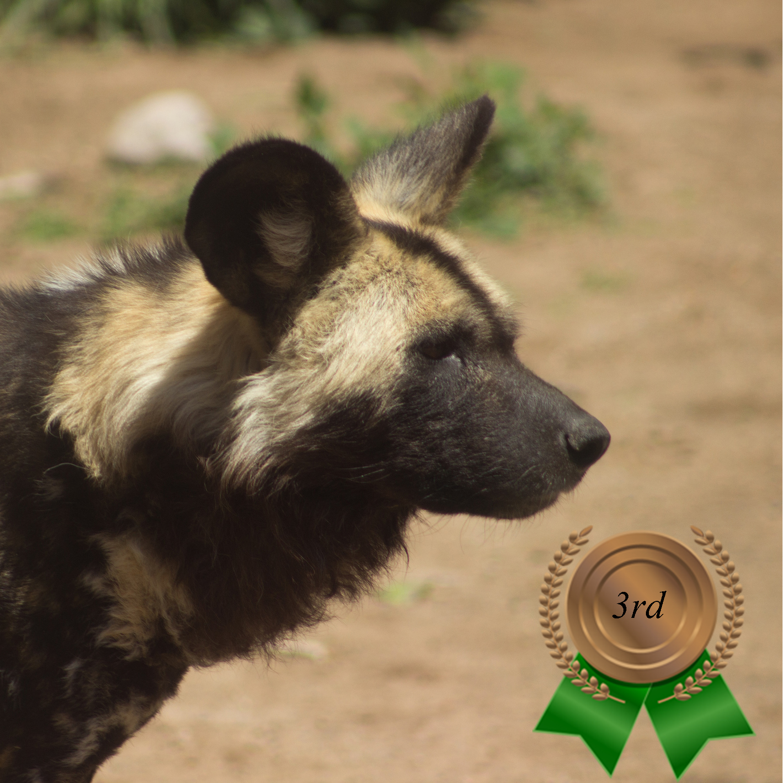 Zoo's Fastest Animal African painted dog