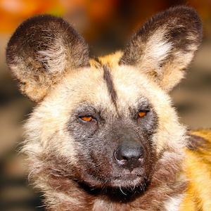 African Painted Dog Headshot Animal Yearbook