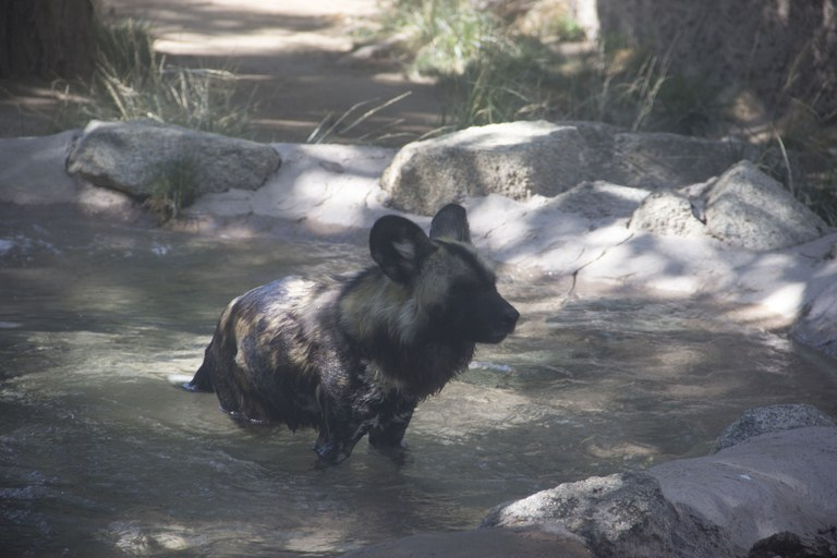 African painted dog swimming