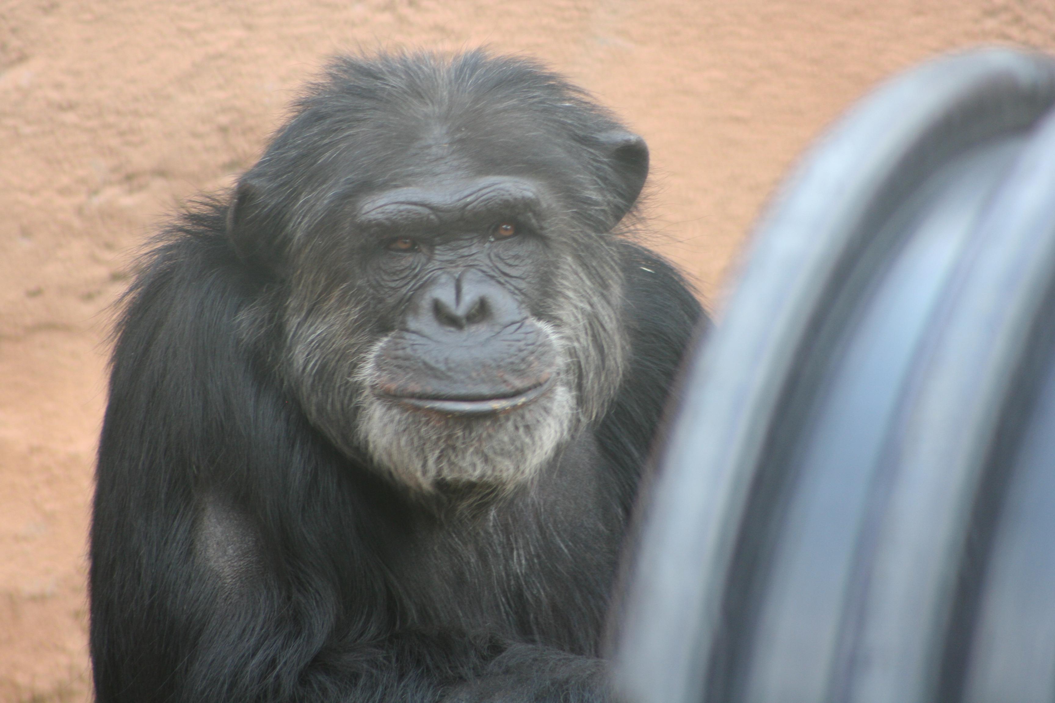 Alf Chimp