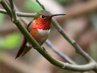 allans_hummingbird.jpg