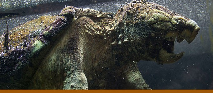 Alligator snapping turtle banner
