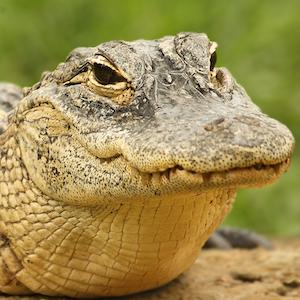 American Alligator Headshot Animal Yearbook