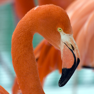 American Flamingo Headshot