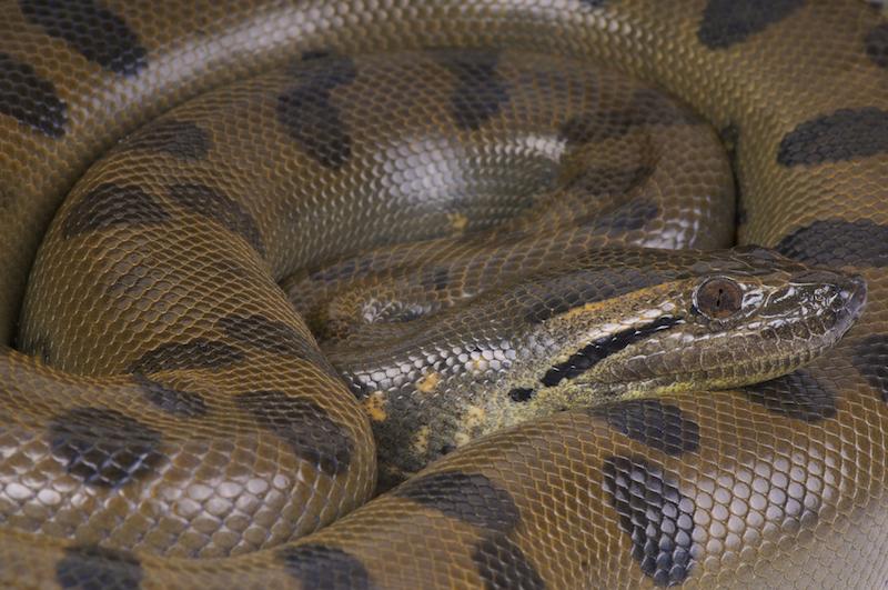 Green Anaconda, Dreamstime