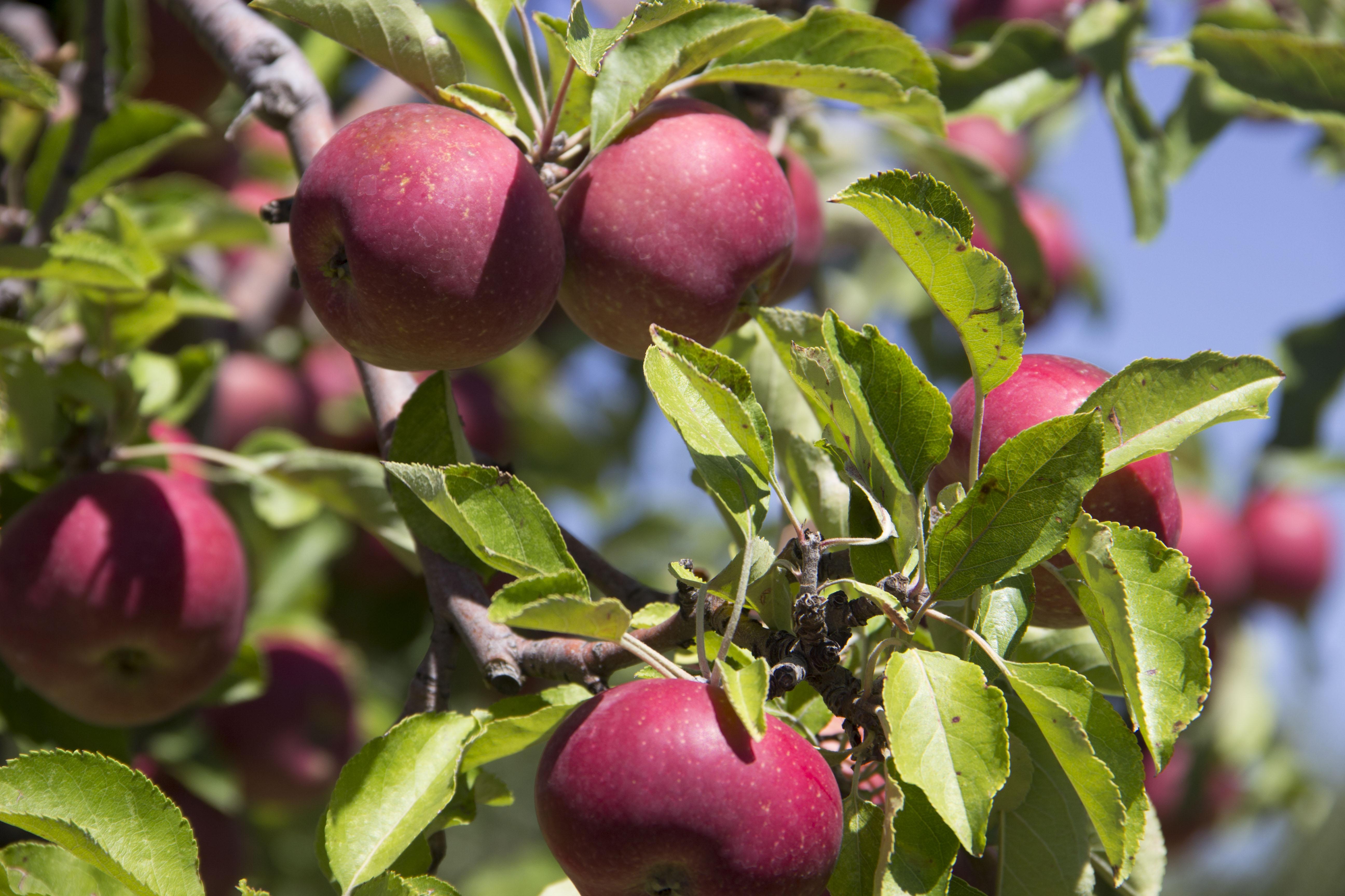 Heritage Farm apples