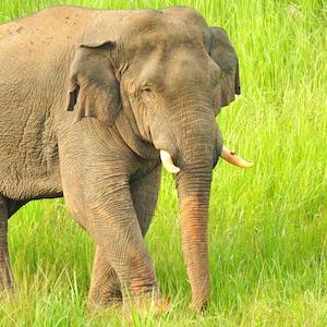 Asian Elephant Headshot Animal Yearbook