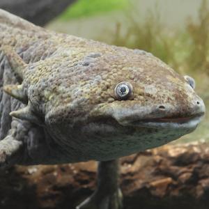 Axolotl Headshot Animal Yearbook