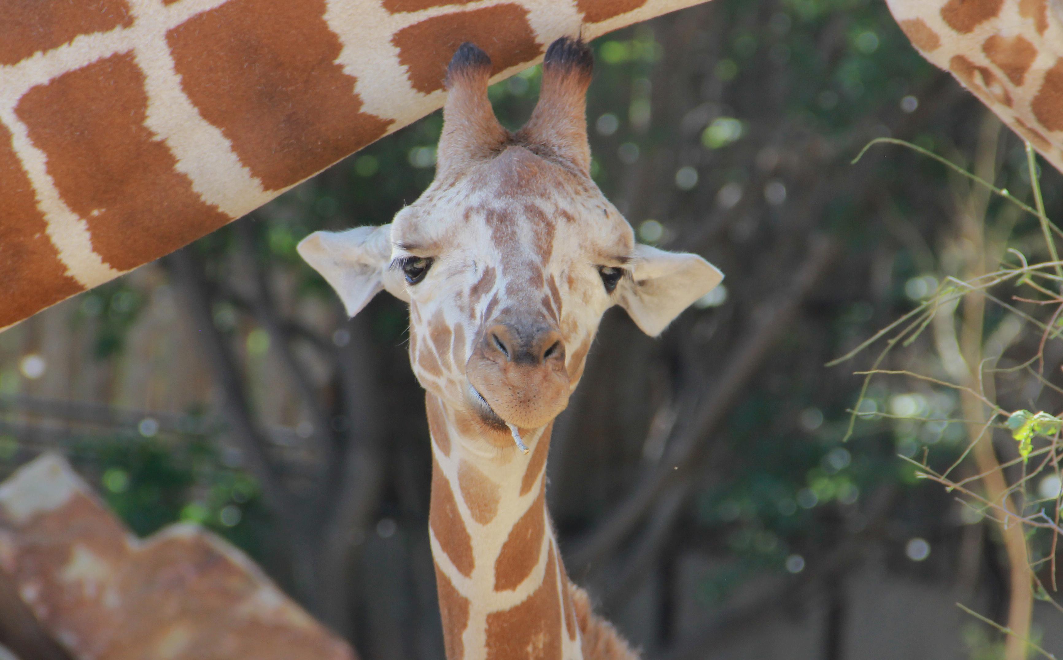 Baby Giraffe June 2018