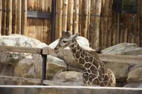 baby kumi giraffe