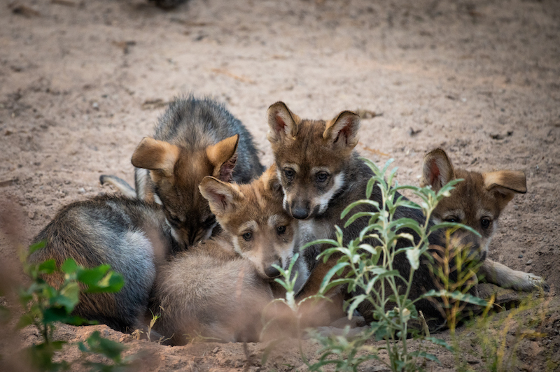 Lobo pup group summer 2020 NMBPS