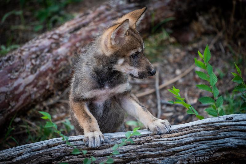 Baby Lobo July 2020 NMBPS PHOTO
