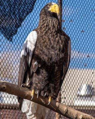 Bald Eagle BioPark Connect Raptors