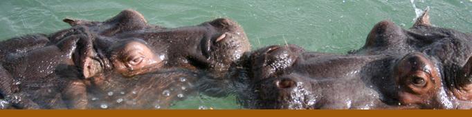 Banner Hippo