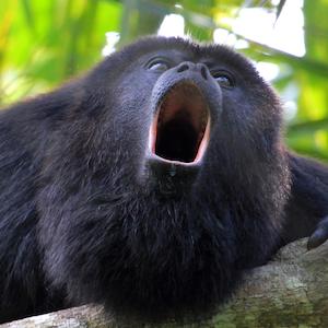 Black and Gold Howler Monkey Headshot Animal Yearbook
