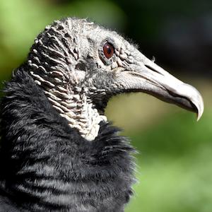 Black Vulture Headshot