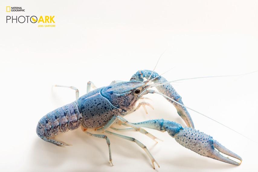 Blue color morph of the red swamp crayfish_Joel Sartore
