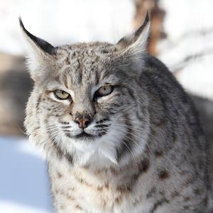 Bobcat Headshot Animal Yearbook