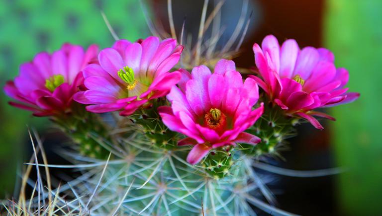 Blooming cactus at the ABQ BioPark Botanic Garden.