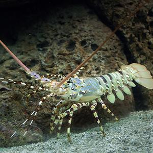 Spiny Lobster Headshot