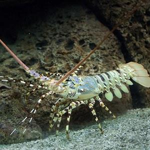 Spiny Lobster Headshot Aquarium Yearbook