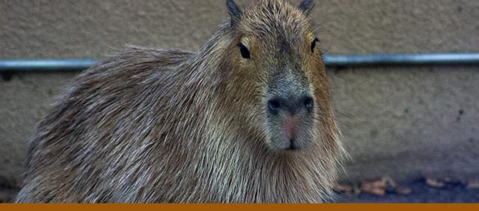 Capybara Banner