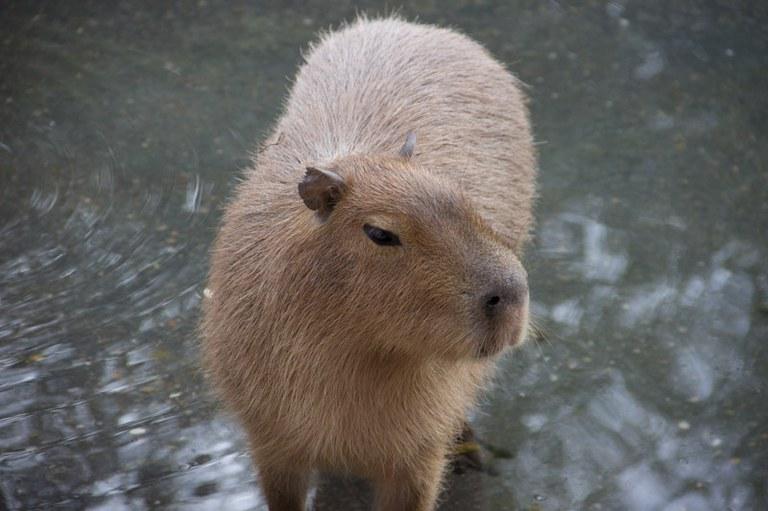 Capybara pool