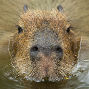 Capybara Headshot