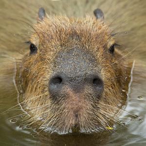 Capybara Headshot Animal Yearbook