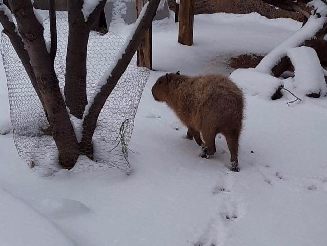 Capybara in Snow