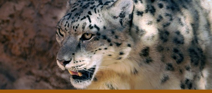 Zoo carnivores banner snow leopard