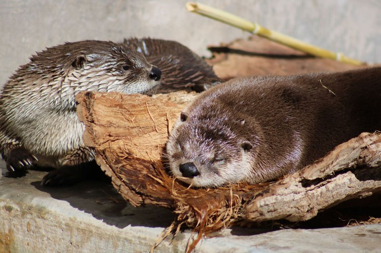 Otters sunbathing at the ABQ BioPark.