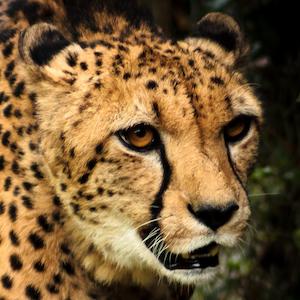 Cheetah Headshot Animal Yearbook