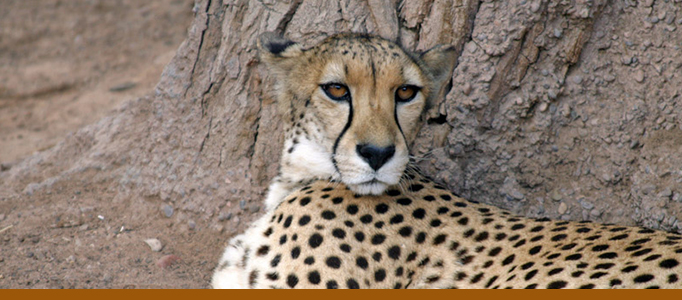 Banner for cheetah exhibit page