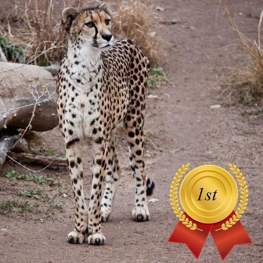 Zoo's Fastest Animal Cheetah