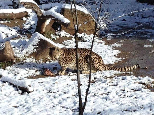 Cheetah in snow