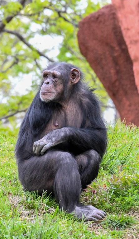 Siri the Chimp, OKC Zoo photo