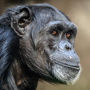 Chimpanzee Headshot Animal Yearbook