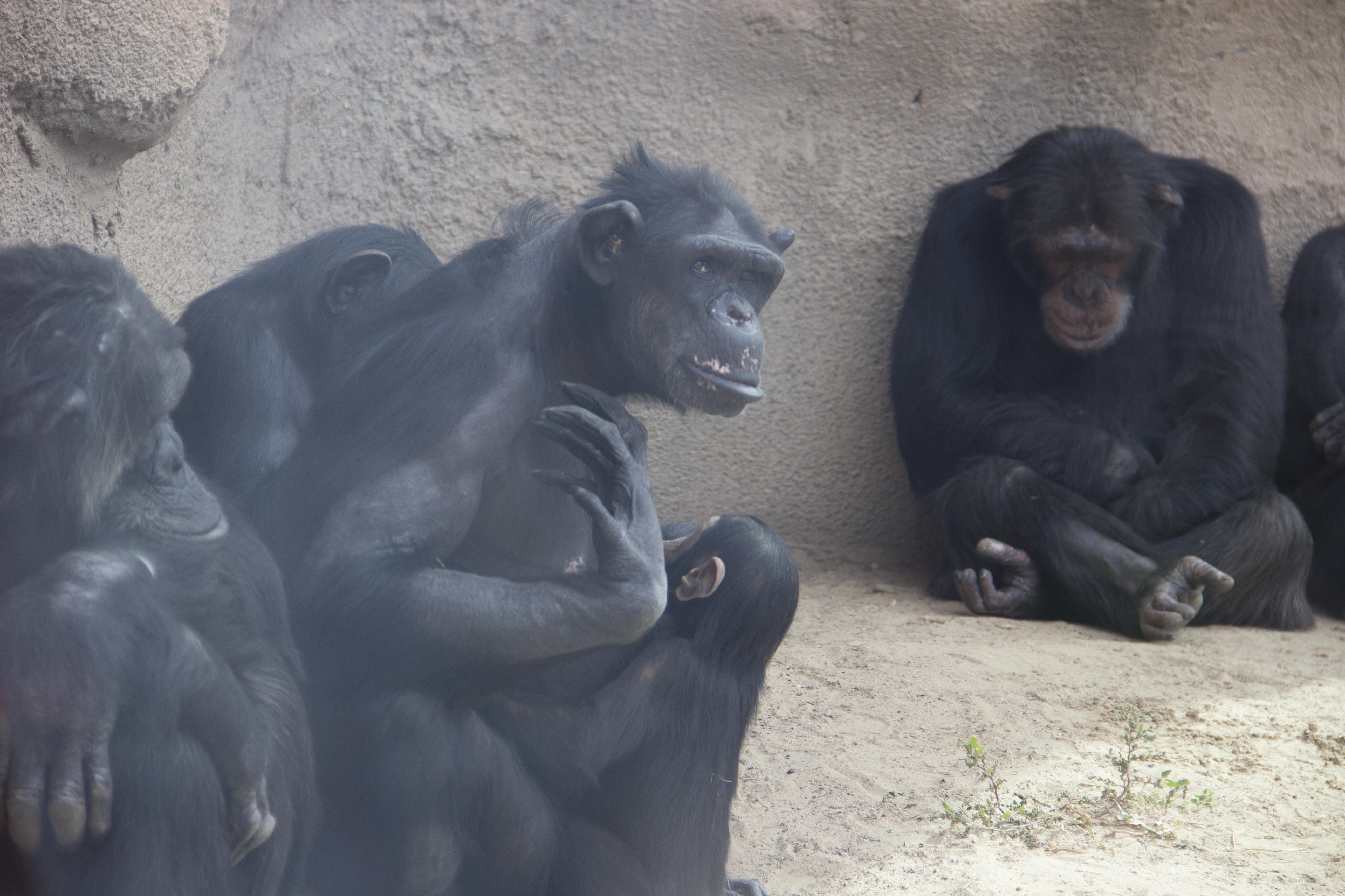 Chimps Elaine Feeding Baby