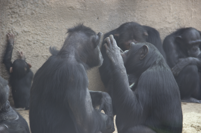 Chimps grooming each other october 2015