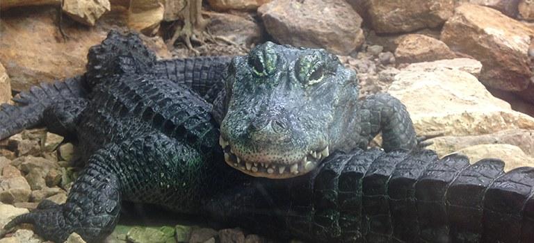Chinese Alligator Couple