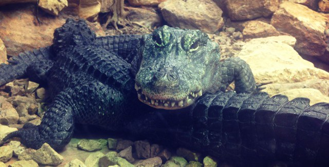 Chinese alligators