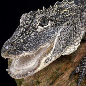 Chinese Alligator Headshot Animal Yearbook