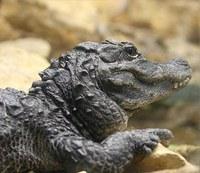chinese alligator square