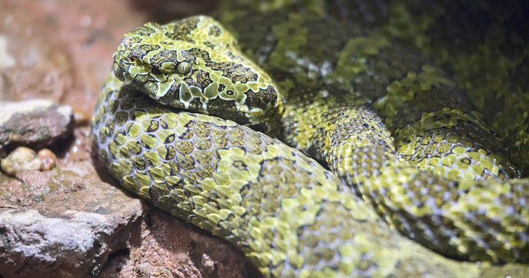 Chinese Mountain Pit Viper, Dreamstime